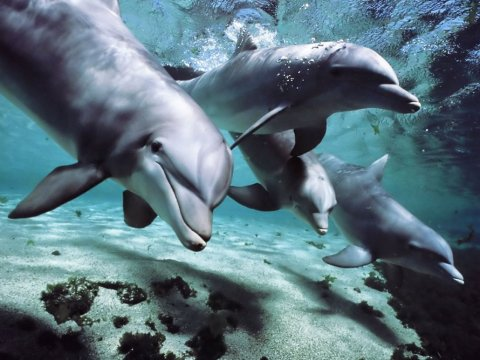 Solomon Islanders slaughter 900 Dolphins because a Green NGO failed to pay blood money on time.
